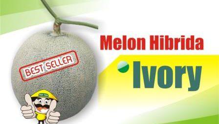 Melon Ivory