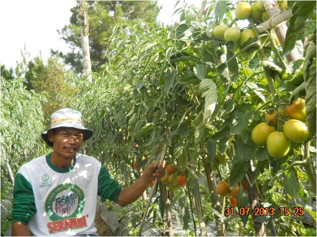 Tomat Amazon di Kec. Pakis, Magelang (2)