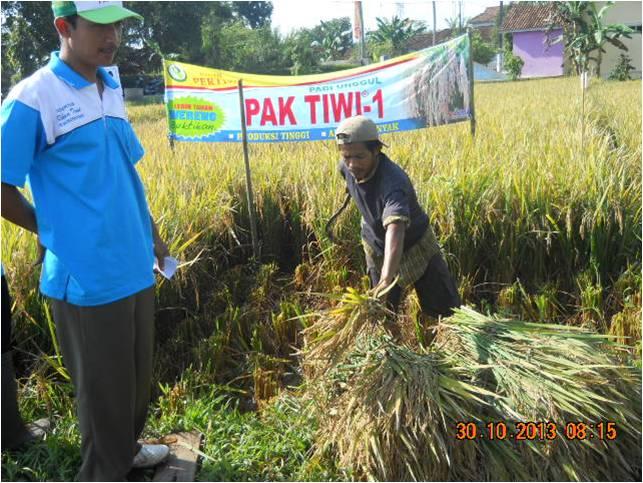Padi Pak Tiwi 1 di Kec. Subah, Batang (3)