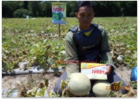 Melon Ivory, Hasil Panen Memuaskan!
