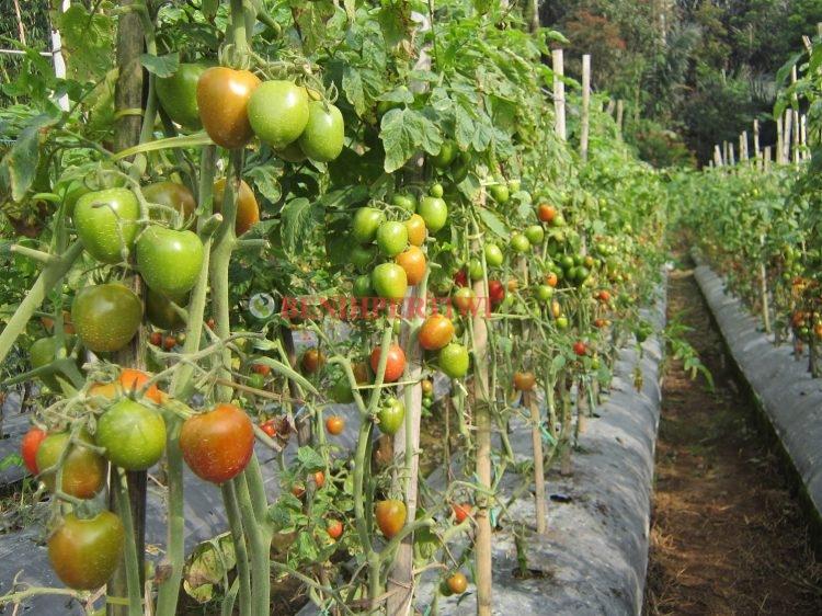 Budidaya Tomat Pertiwi