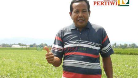 Enak Tanam Semangka Passport, si Kuning Madu ini, Cepat Laku!