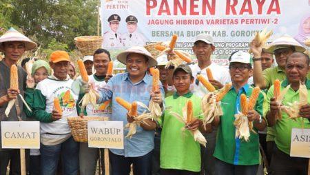 Panen Raya Jagung Hibrida Varietas Pertiwi-2 di Gorontalo