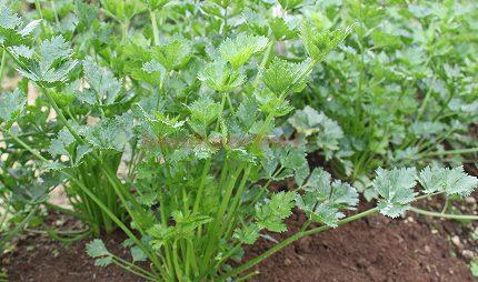 Seledri untuk Penyedap Makanan Hingga Pembersih Ginjal