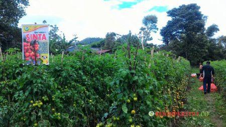 Tomat Sinta, Buah Lebat, Lebih Tahan Virus Kuning