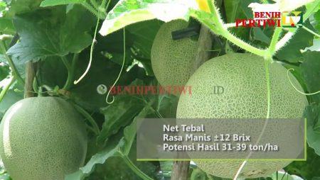Melon Pertiwi ANVI, Lebih Tahan Virus, Lebih Menguntungkan