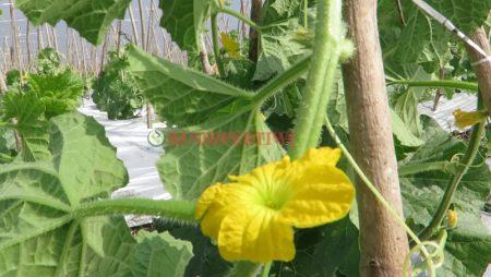 Penyerbukan Bunga Melon Secara Alami dan Buatan