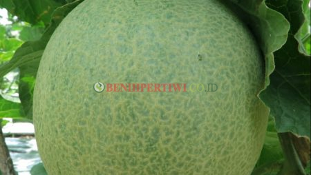 Pembentukan Net Melon Agar Tampil Prima