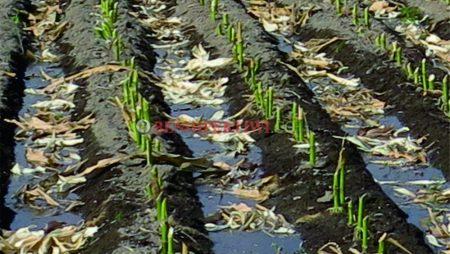 Cara Penggunaan Pupuk Hijau untuk Kesuburan Tanah