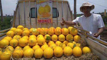 Gebrakan Baru Melon Monet di Pesisir Pantai, Lapak Senang, Petani Untung.