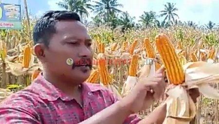 Jagung Pertiwi-5, Tongkol Seragam, Rendemen Tinggi, Bisa Ditanam Rapat