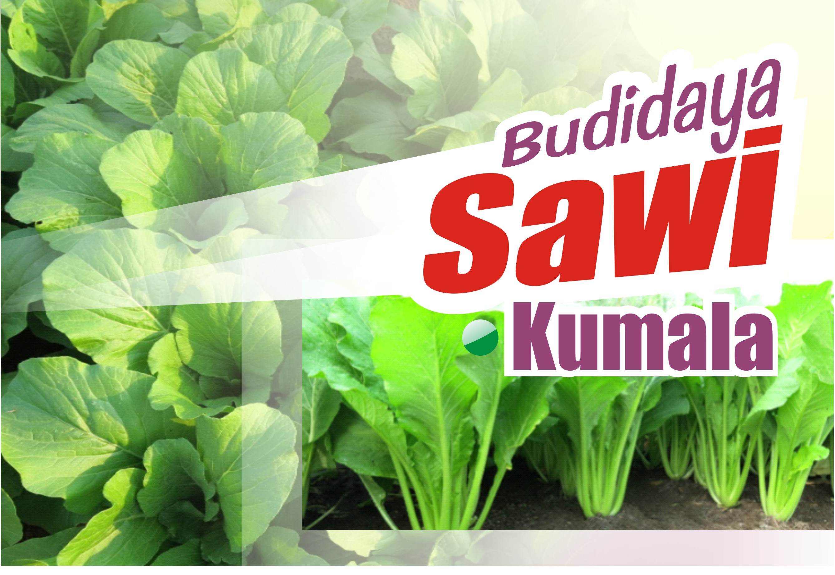 Budidaya Sawi Kumala