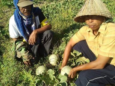 Menanam Melon Tanpa Lanjaran / Telasah